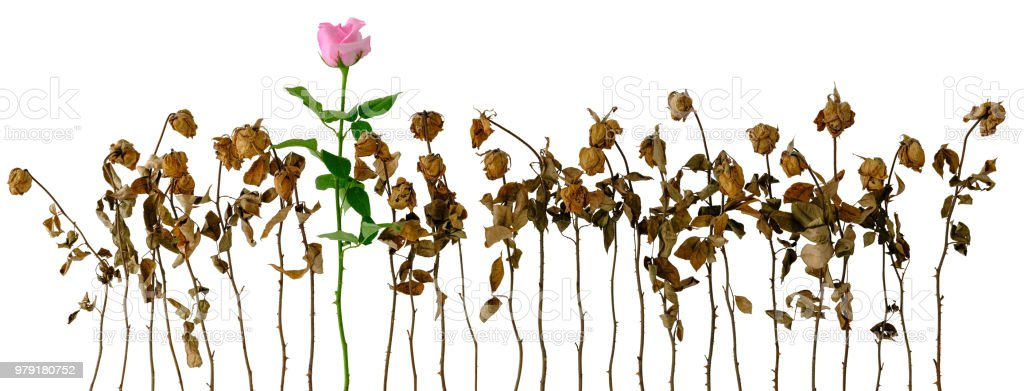 Healthy fresh pink blooming rose among a row of other dried dead pink roses, isolated on white, clipping path included. stock photo