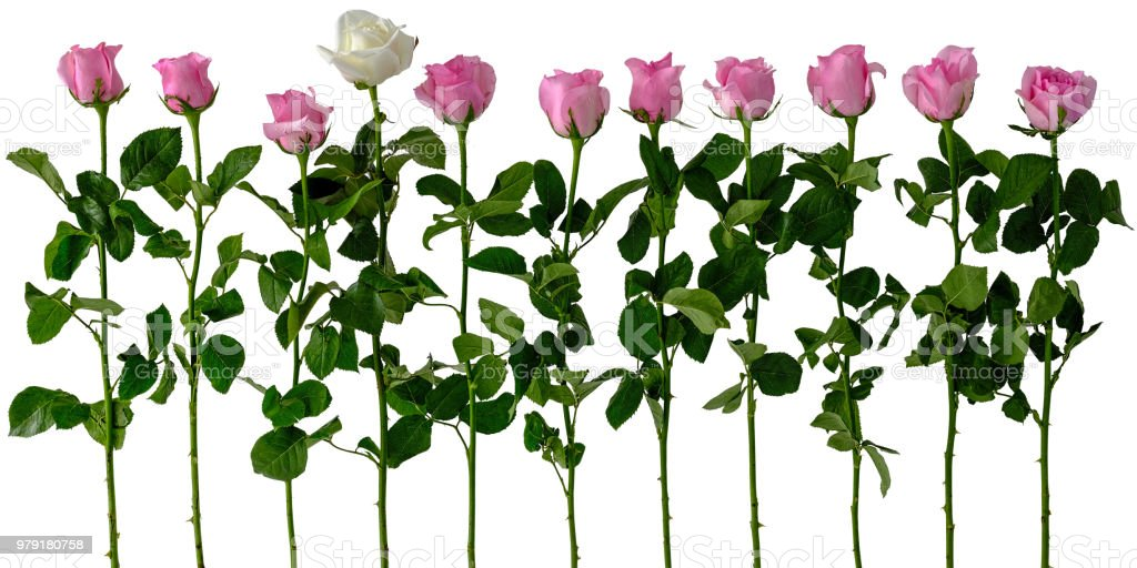 Healthy fresh white blooming rose among a row of other blooming pink roses, isolated on white, clipping path included. stock photo