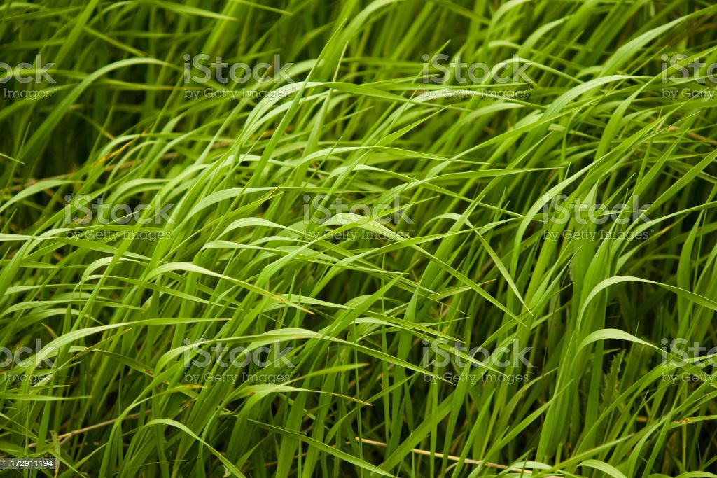 Healthy grass blows in the wind royalty-free stock photo