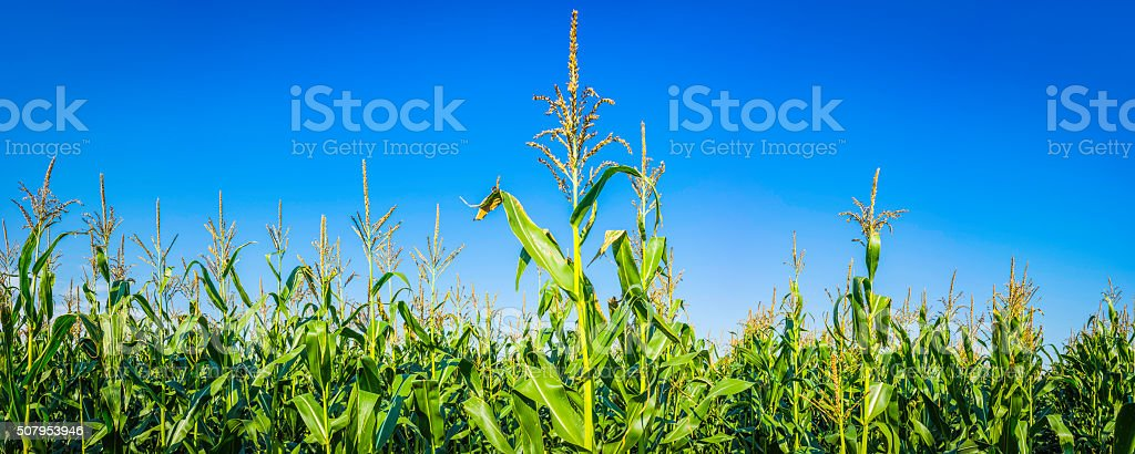 Healthy green corn maize crop growing in sunny farmers field stock photo