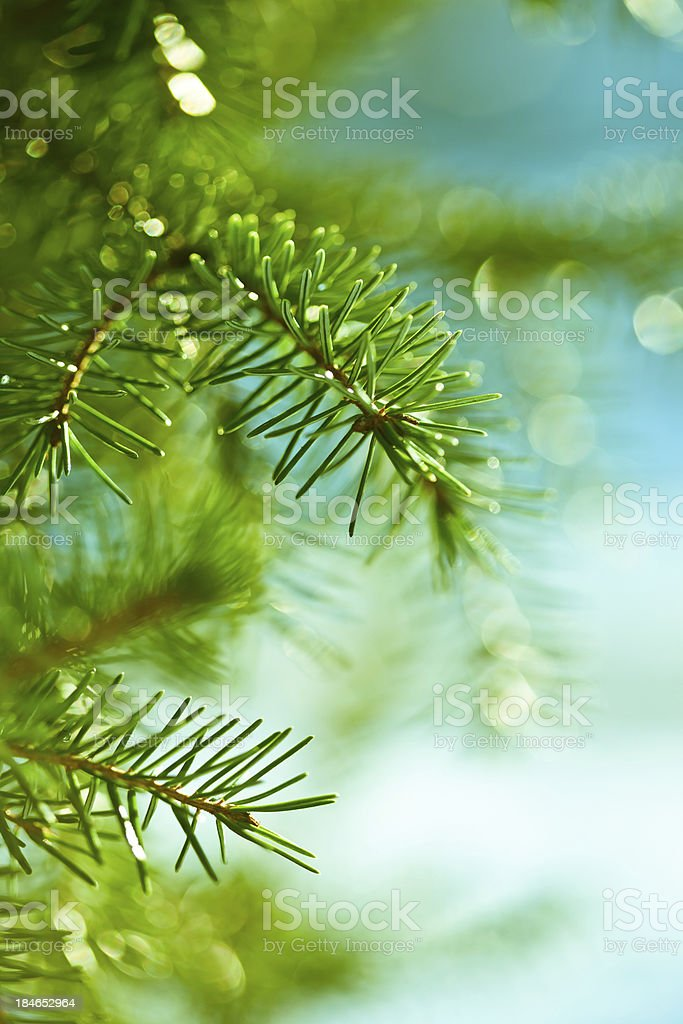 Healthy green fir tree with blue sky background royalty-free stock photo