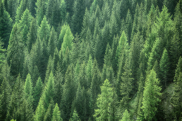 Healthy green trees in forest of spruce, fir and pine – Foto