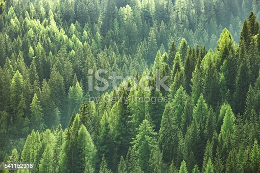 istock Healthy green trees in forest of spruce, fir and pine 541152916