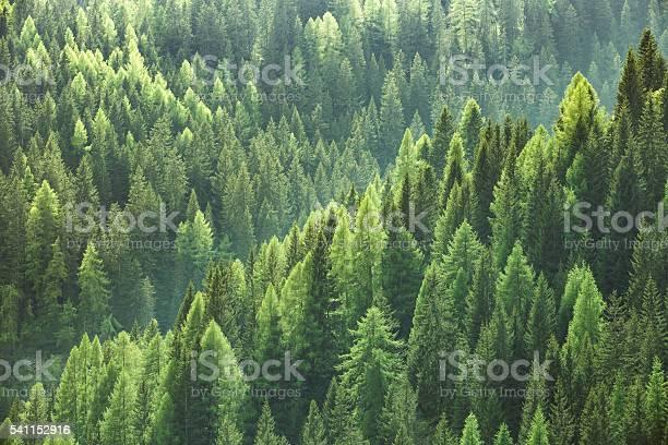 Healthy green trees in forest of spruce fir and pine picture id541152916?b=1&k=6&m=541152916&s=612x612&h=u2rwm4rzfo89gtyyzf6666kdso uq0ox1o9lfwmpbxq=