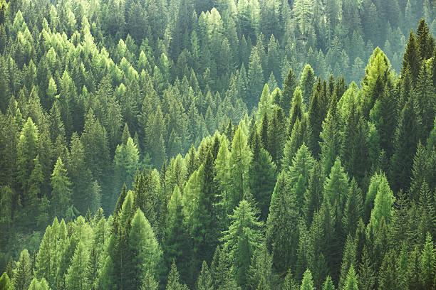healthy green trees in forest of spruce, fir and pine - forest bildbanksfoton och bilder