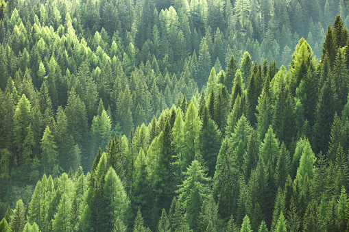 Healthy Green Trees In Forest Of Spruce Fir And Pine 0명에 대한 스톡 사진 및 기타 이미지