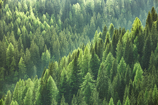 healthy green trees in forest of spruce, fir and pine - woud stockfoto's en -beelden