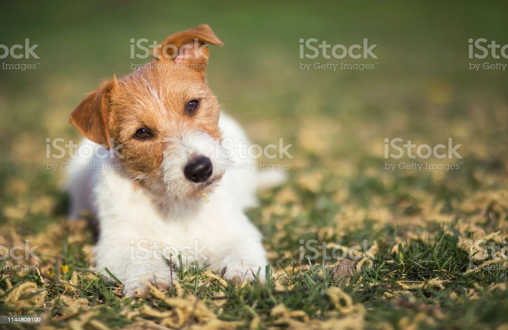 Healthy happy jack russell pet dog puppy listening in the grass with...