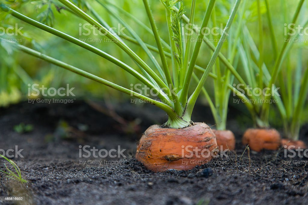 Healthy Homegrown Carrots royalty-free stock photo