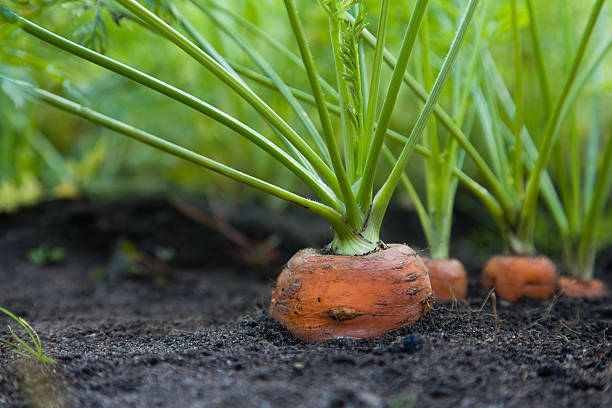 healthy homegrown carrots - plantdeel stockfoto's en -beelden