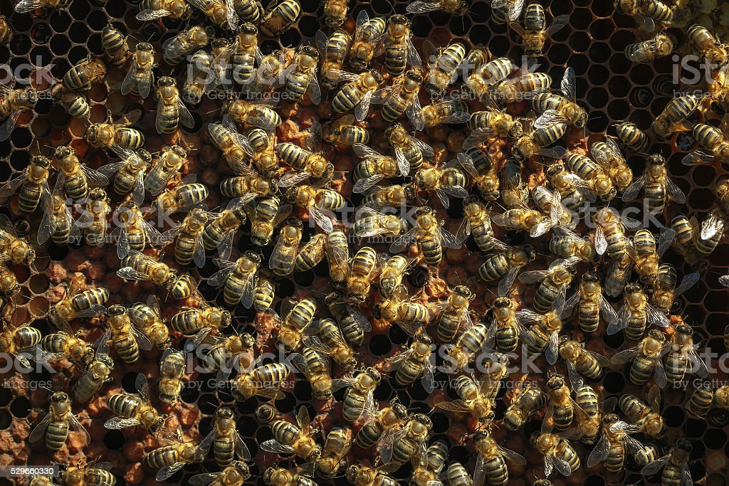 Healthy honey bees on a  frame, capped pollen stock photo