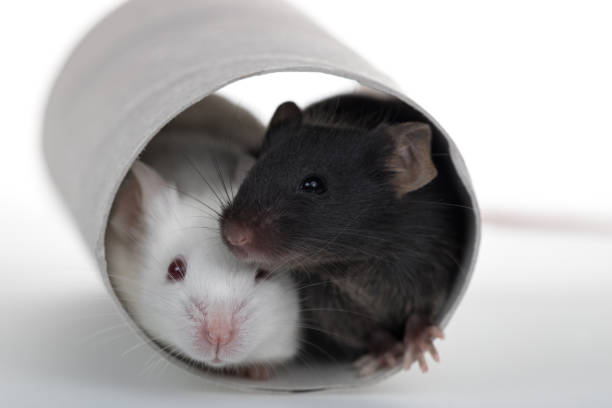 Healthy laboratory mice play with paper tube in white background stock photo