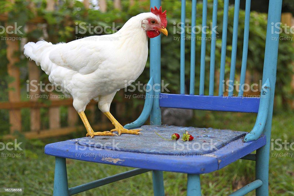 Gesunde Leghorn Huhn Auf Blauen Stuhl Stock Fotografie Und Mehr
