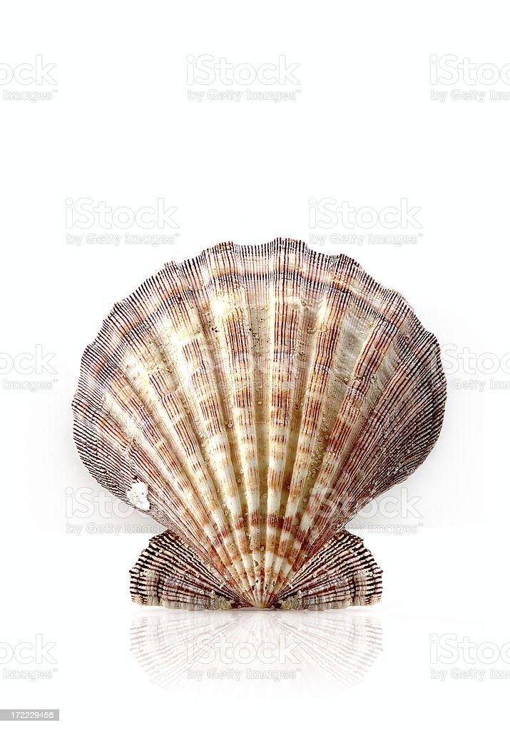 healthy marine shell royalty-free stock photo