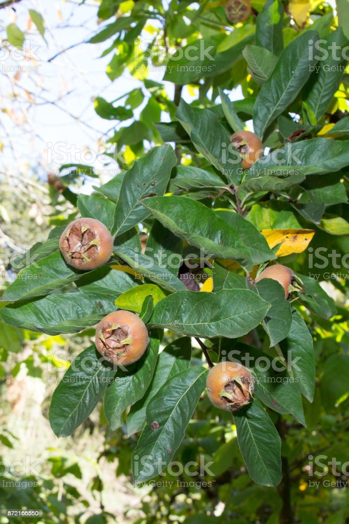 Healthy Medlars in fruit tree Mespilus germanica, Crataegus germanica, medlar, Mispel stock photo
