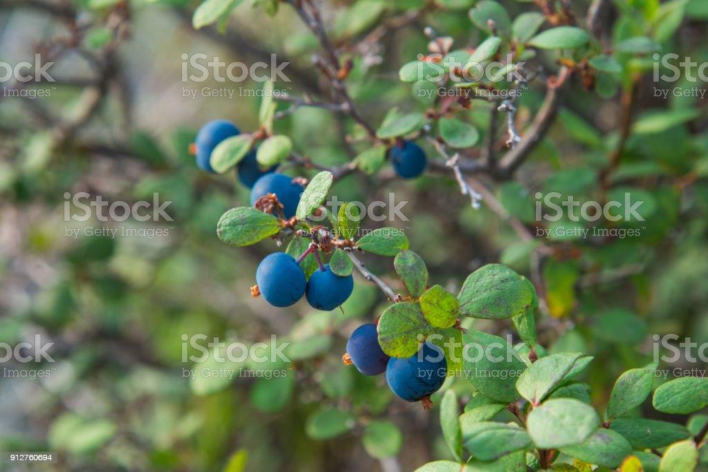 Alimentos orgánicos sanos - arándanos silvestres. Vaccinium myrtillus en bosque closeup - foto de stock