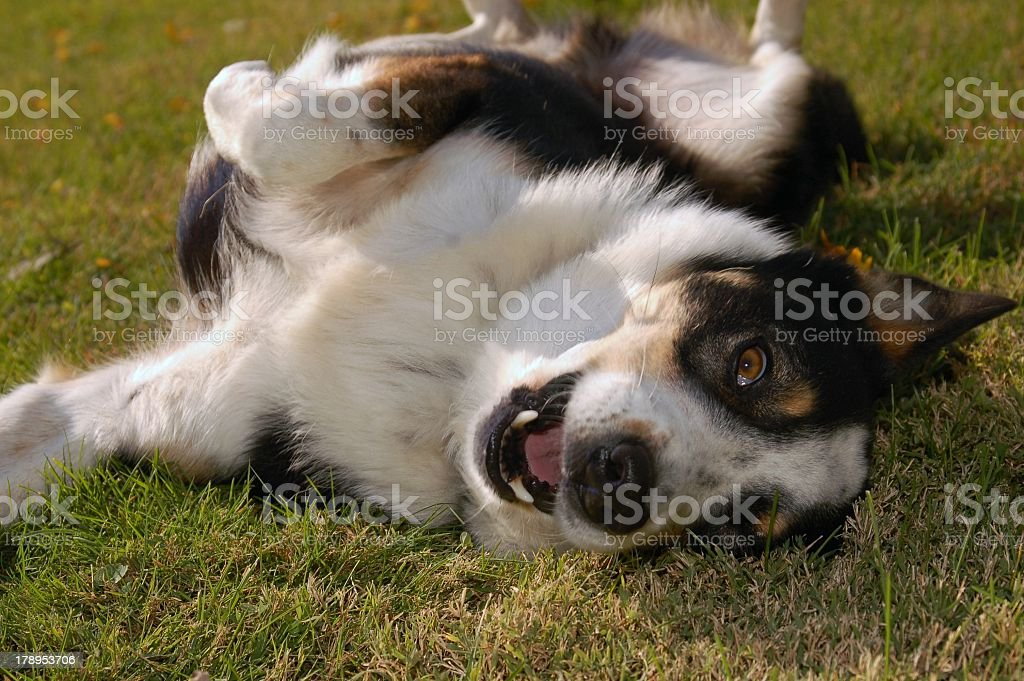Healthy Playful Dog Behavior Shepard mix stock photo