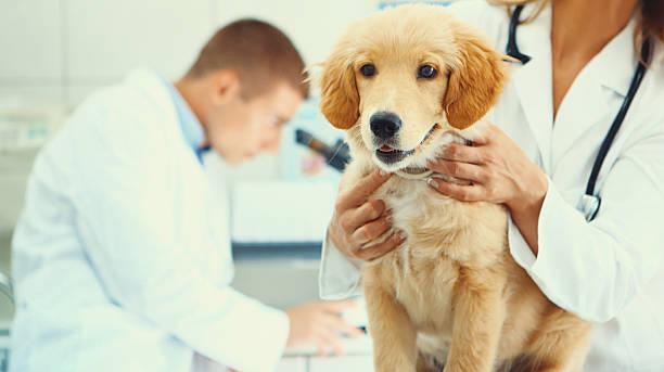 Healthy puppy after medical exam picture id589118396?b=1&k=6&m=589118396&s=612x612&w=0&h=t4revww8kciidzkyuj7sujr vtuipr06k9hetbhrdmq=