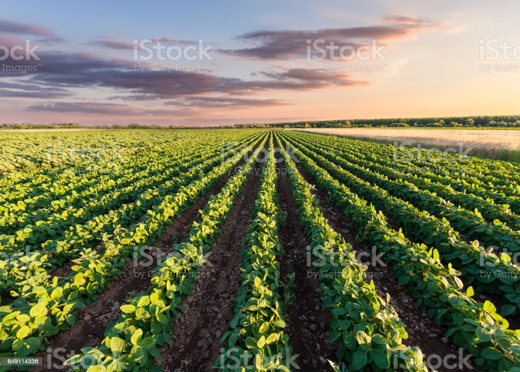 Healthy soy meadow at beautiful sunset royalty-free stock photo