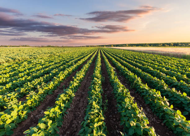 Healthy soy meadow at beautiful sunset stock photo