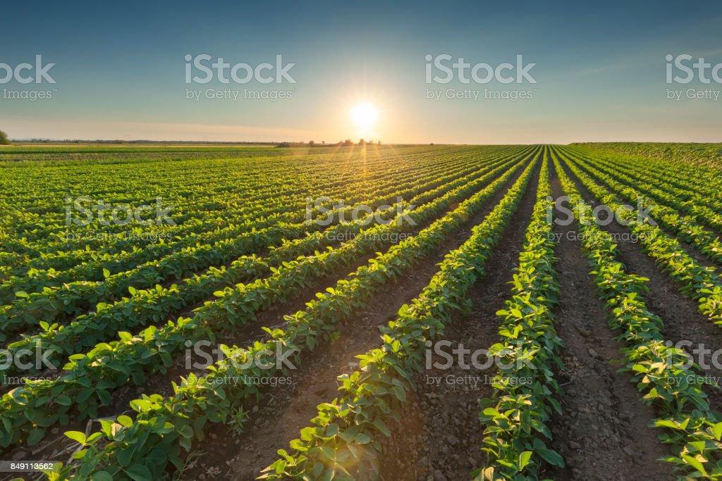 Cultivos de soja sana en hermosa puesta de sol - foto de stock