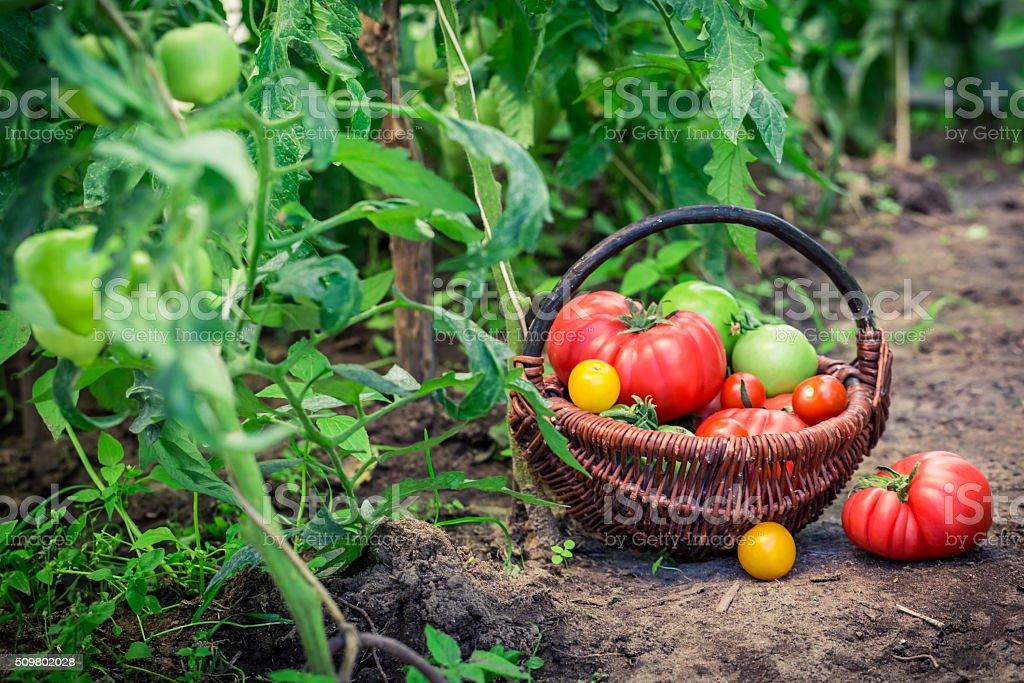 Gesunde Tomaten auf Boden – Foto