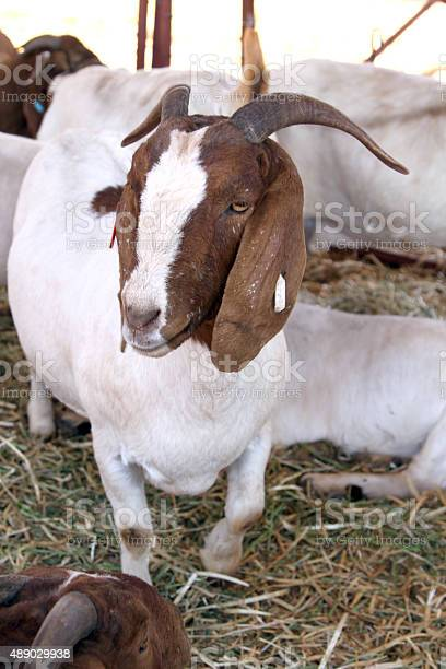 Thabazimbi, South Africa - August 1, 2014 : Thabazimbi Agrigultural Show. Healthy white and brown Boerbok, Africander, Afrikaner, South African common goat