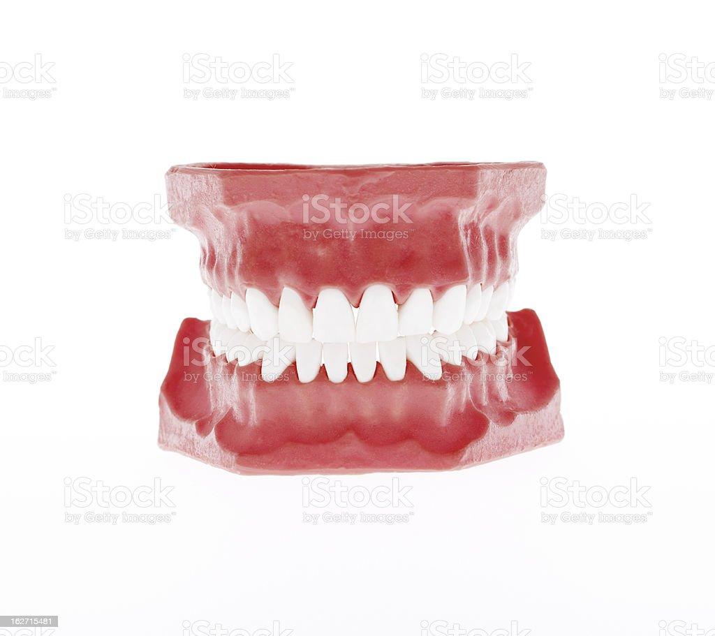 Healthy White Human Teeth Anatomical Model Dentistry Stock Photo