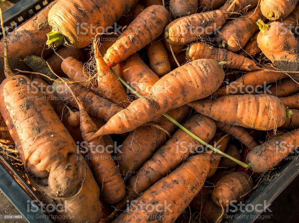 heap of carrot in black plastic box stock photo