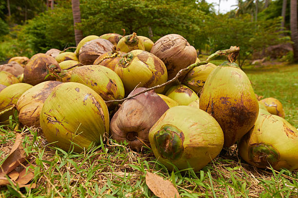 Heap of green coconuts in jungle forest stock photo