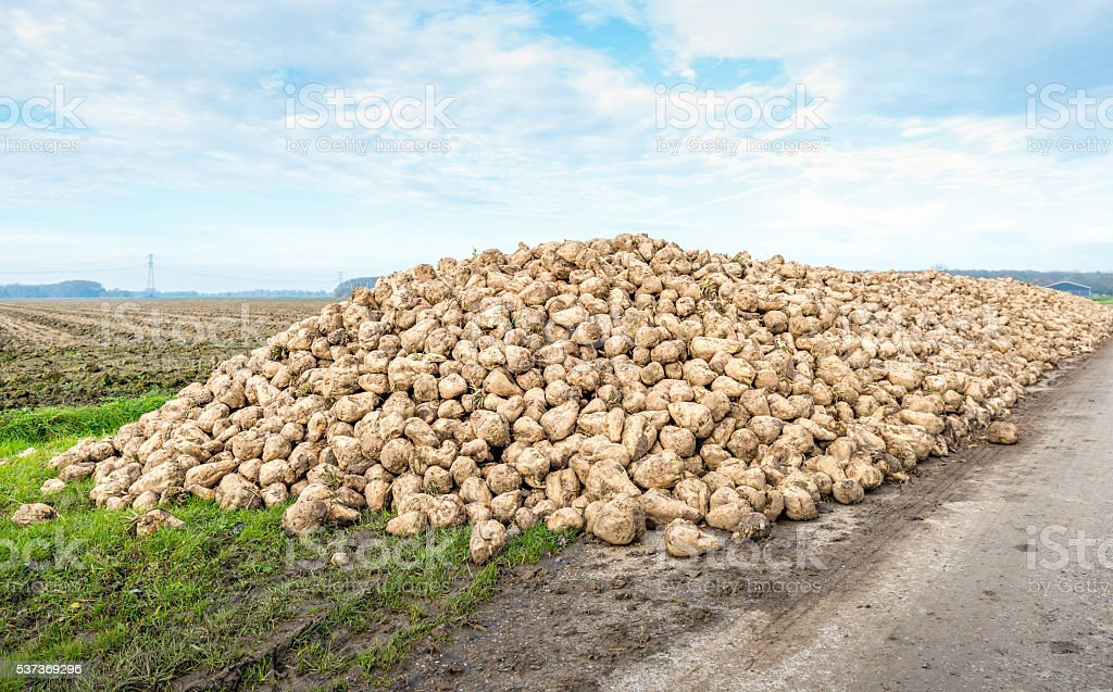 Heap of harvested sugar beets along a country road stock photo