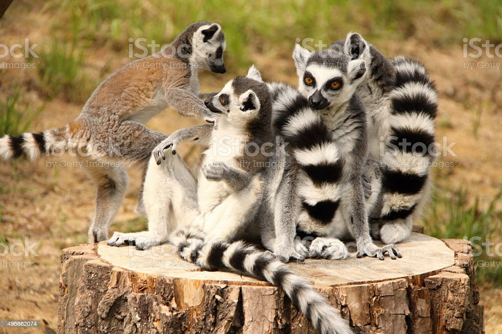 Heap of lemurs stock photo