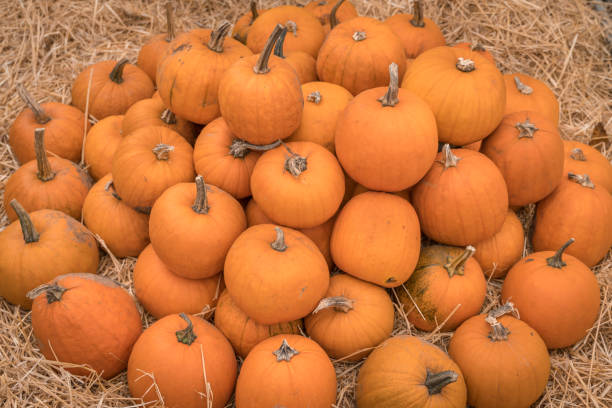 Heap of many orange pumpkins at pumpkin farm Heap of many orange pumpkins at pumpkin farm - autumn background stem cell therapy stock pictures, royalty-free photos & images