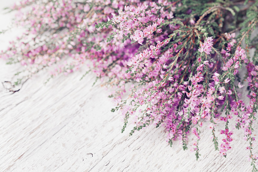 Heap of pink heather flower (calluna vulgaris, erica, ling) on white rustic table. Greeting card for mother or woman day.