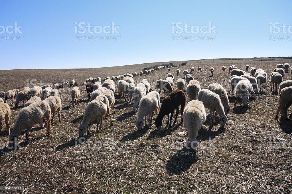 Heard of Sheep royalty-free stock photo