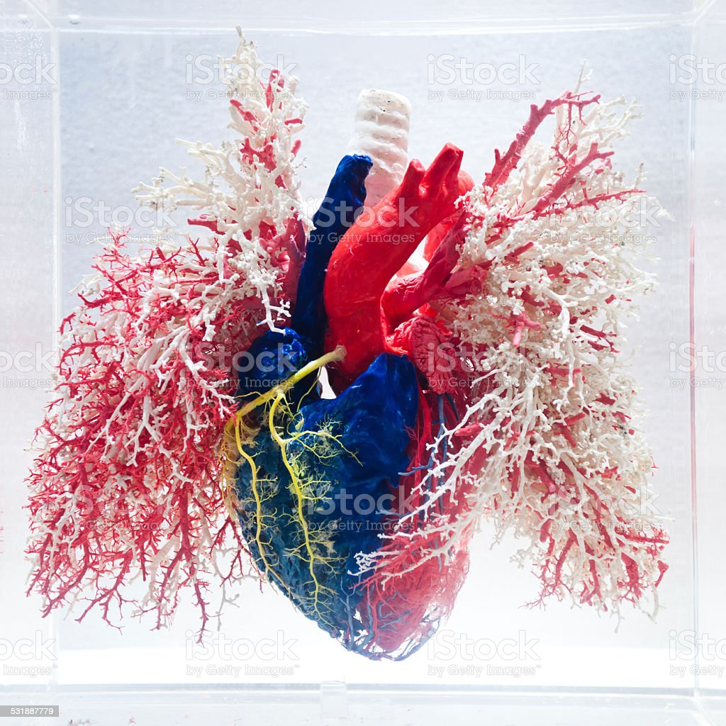 heart and blood vessel model  on isolated background stock photo