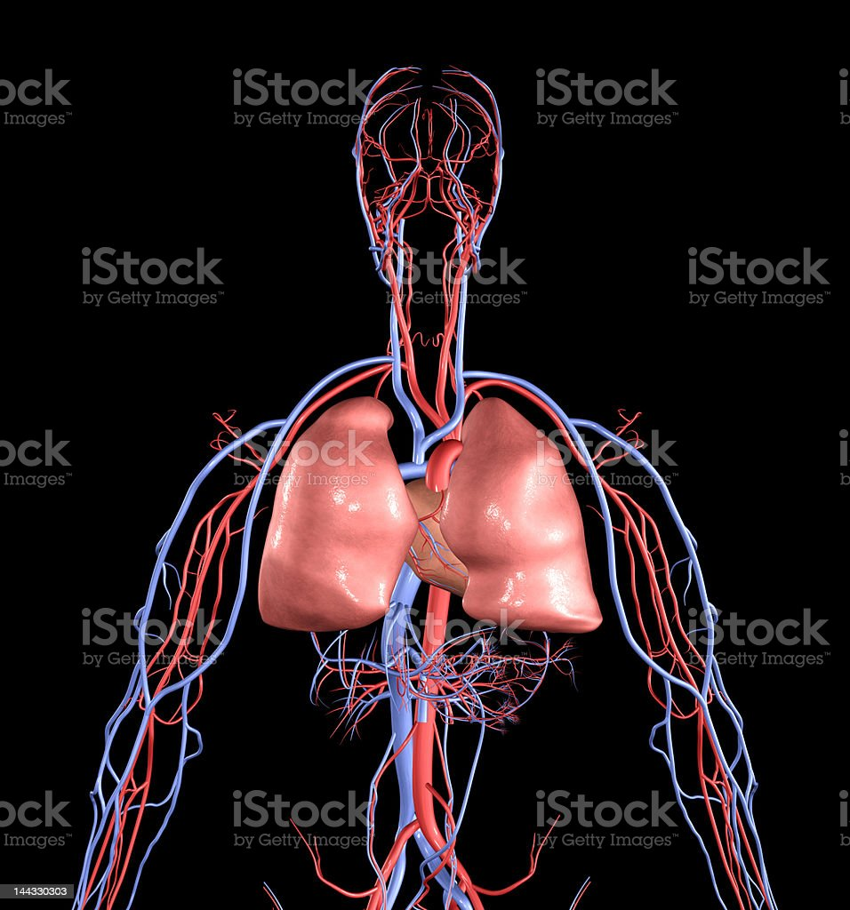 Heart and Lungs royalty-free stock photo