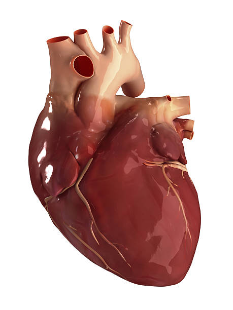 heart anterior view isolated - human heart stock photos and pictures