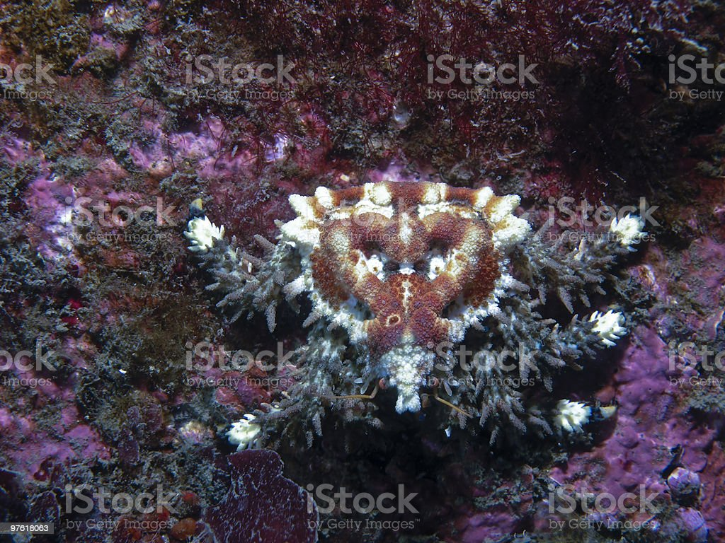 Heart Crab (Phyllolithodes papillosus) royaltyfri bildbanksbilder
