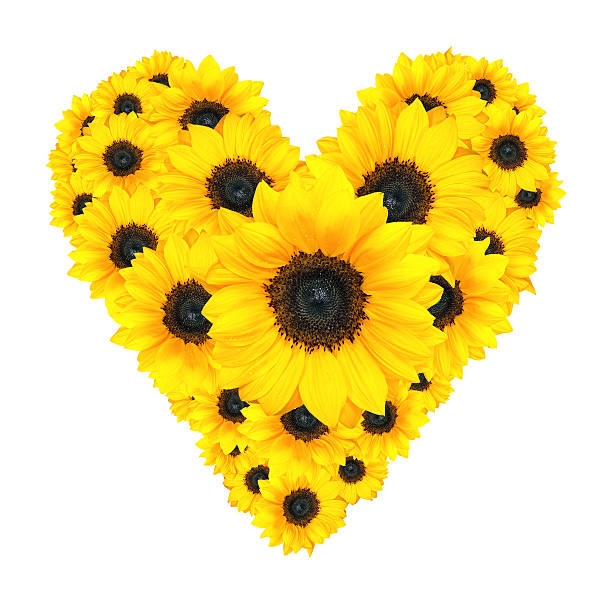 Best Sunflower Hearts Stock Photos, Pictures & Royalty ...