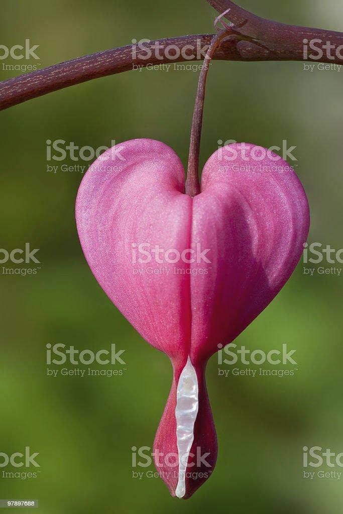 Heart flower royalty-free stock photo