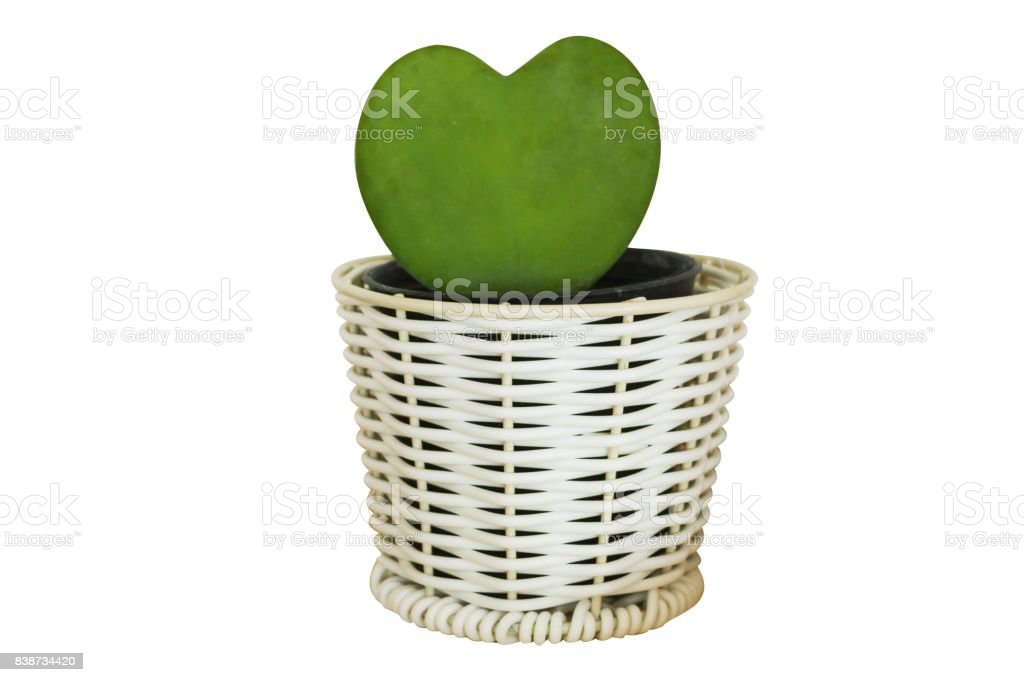 heart form of cactus plant in pot isolated on white background stock photo