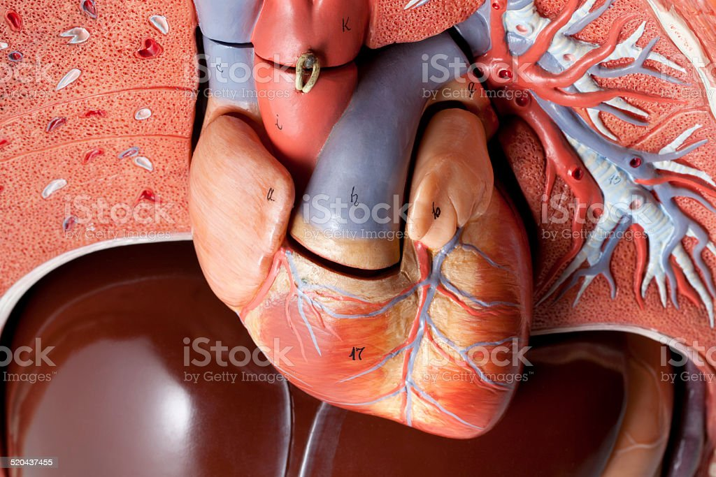 Heart. Human anatomy model. stock photo
