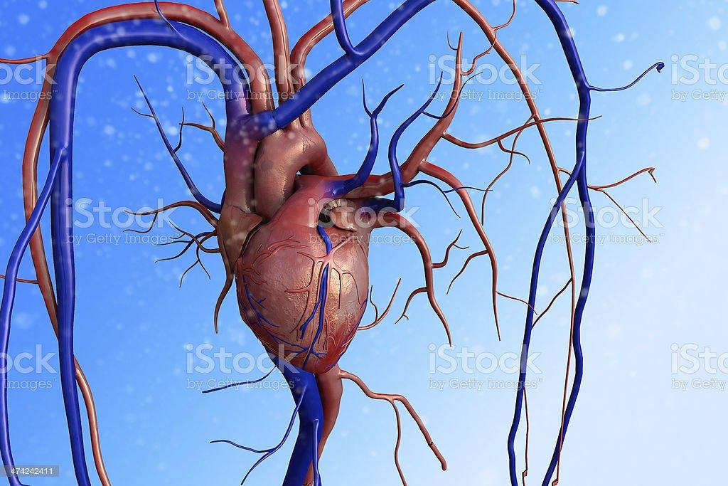heart, Human heart royalty-free stock photo