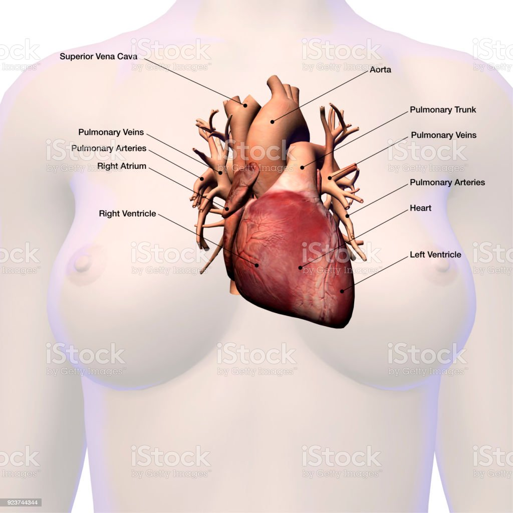 Heart Labeled Within Womans Chest Stock Photo More Pictures Of