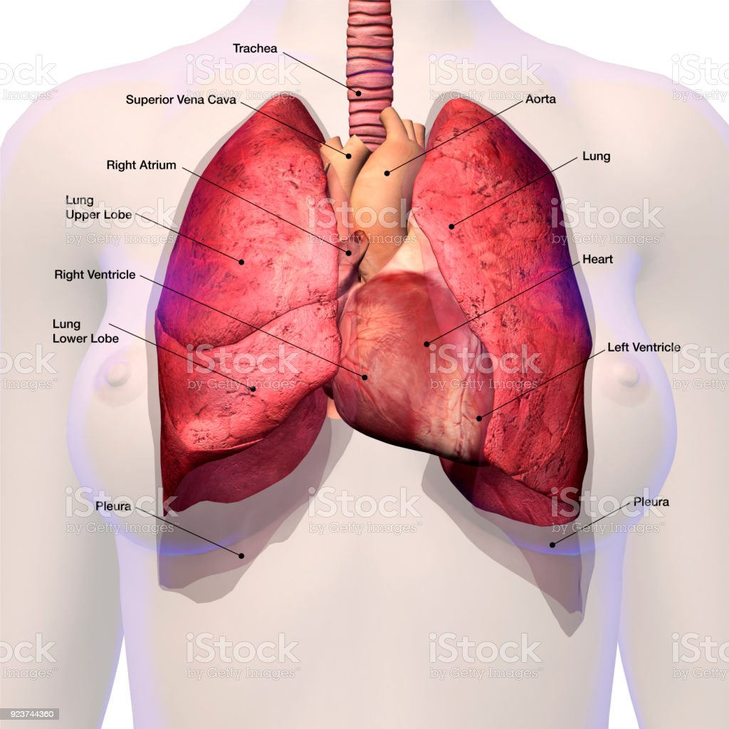 Best Pulmonary Artery Stock Photos  Pictures  U0026 Royalty