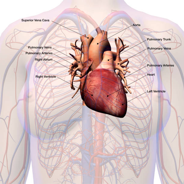 Royalty Free Left Atrium Pictures Images And Stock Photos Istock