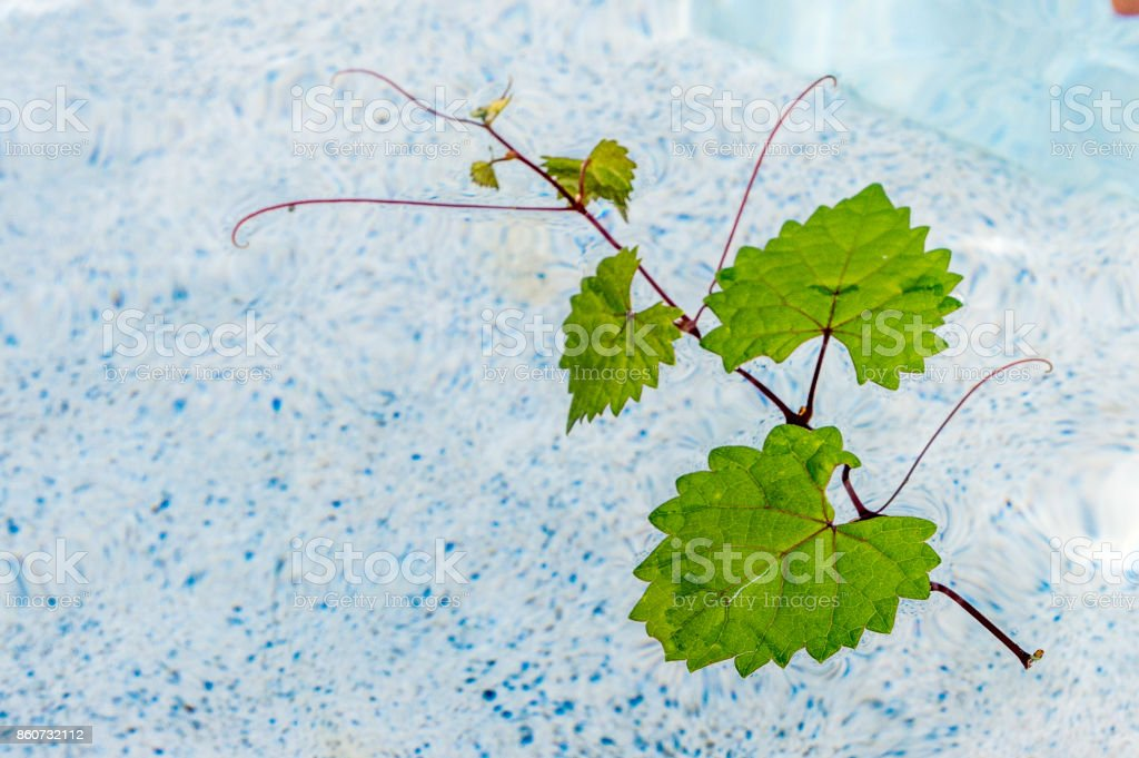 heart leaf floating in clear water stock photo