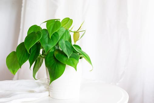 Heart Leaf Philodendron House Plant - Fotografie stock e altre immagini di Affettuoso