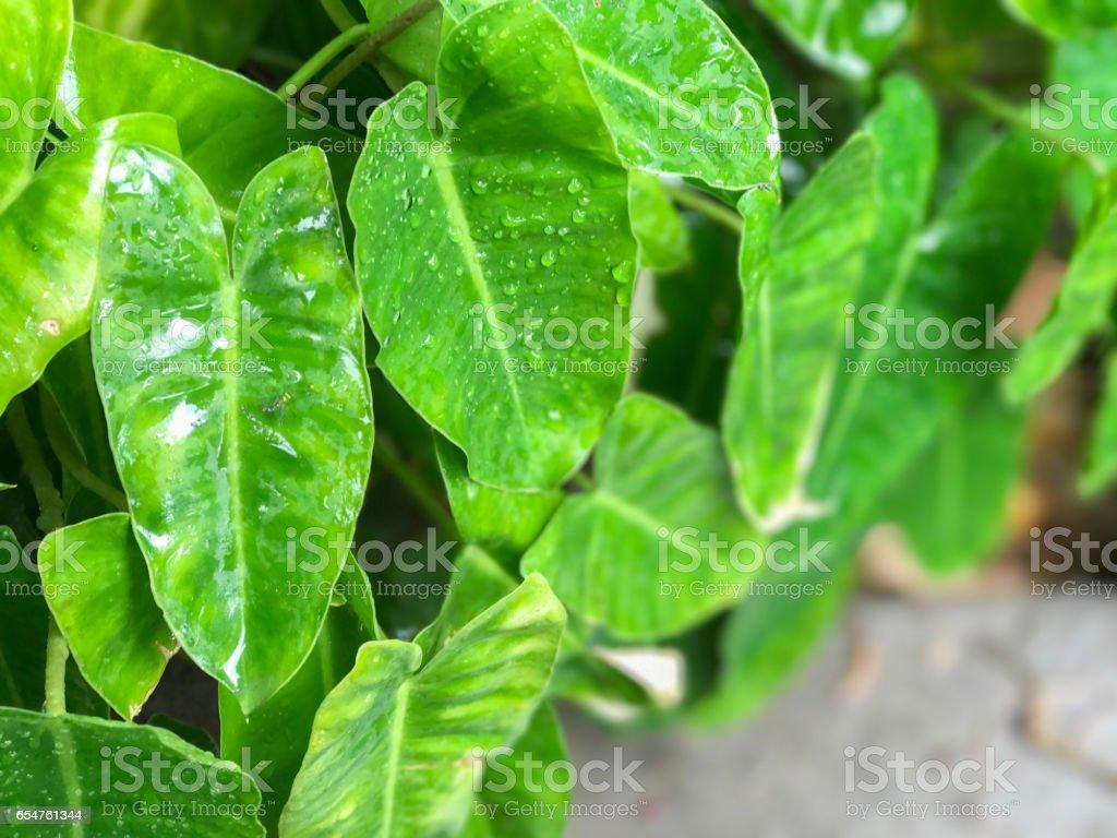 Herz-Blatt Philodendron – Foto